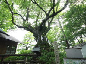 熊野神社の神木「シナノキ」