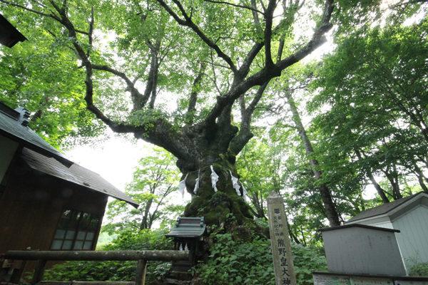 熊野皇大神社の神木しなの木